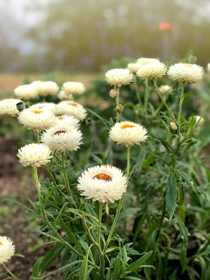 White fresh real Strawflower like paper flower blooming in the garden with soft sunlight. royalty free stock photos