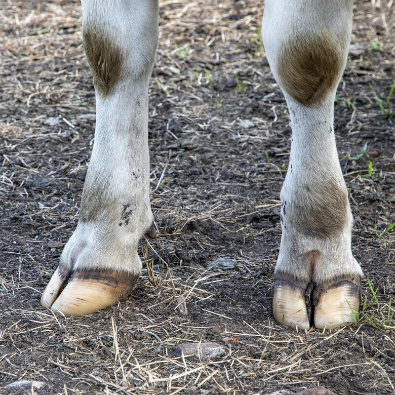 Free White Front Hooves Of A Dairy Cow Standing On A Path Stock Photos - 187095413