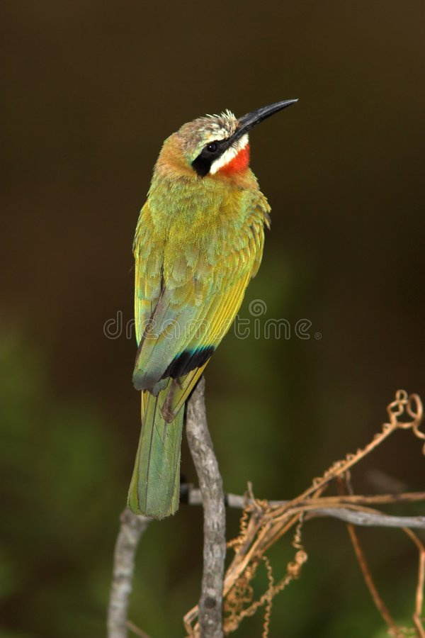Download White-Fronted Bee-Eater Stock Photos - Image: 1414783