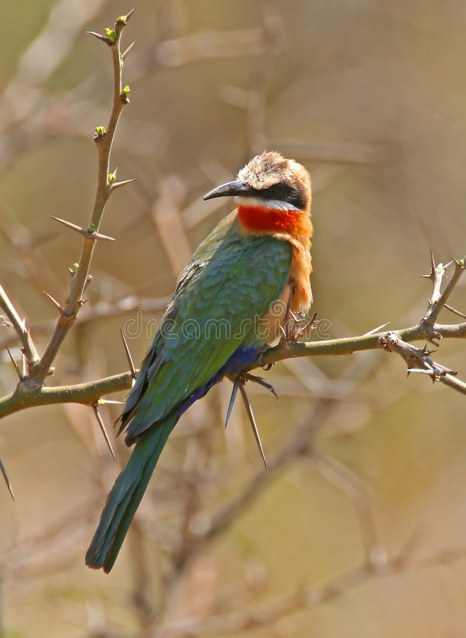 White fronted bee eater royalty free stock photos