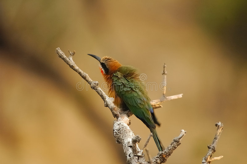 Download White-fronted Bee-eater Bird Stock Image - Image of sitting, fronted: 4832203