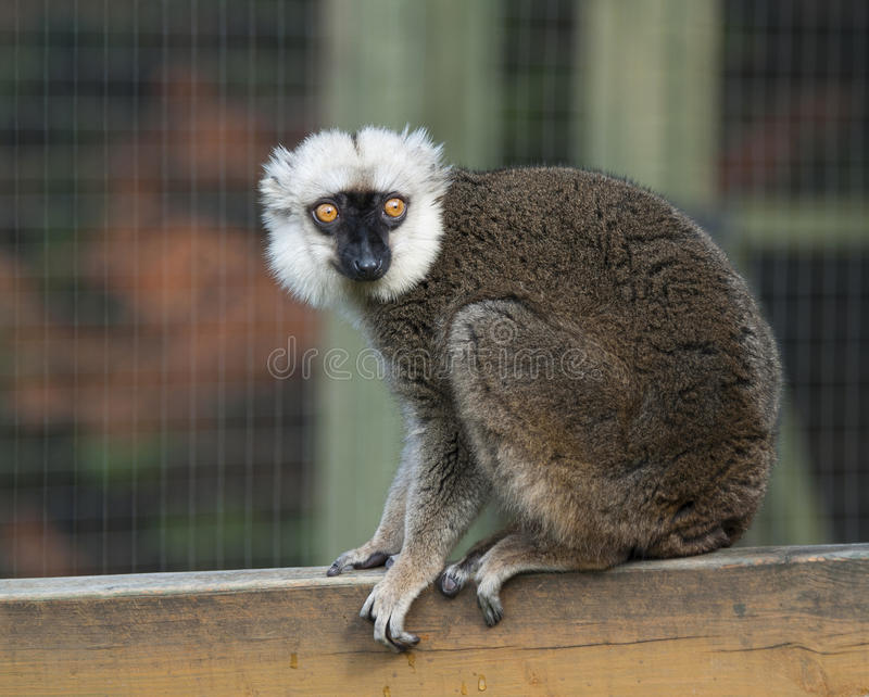 White Fronted Brown Lemur