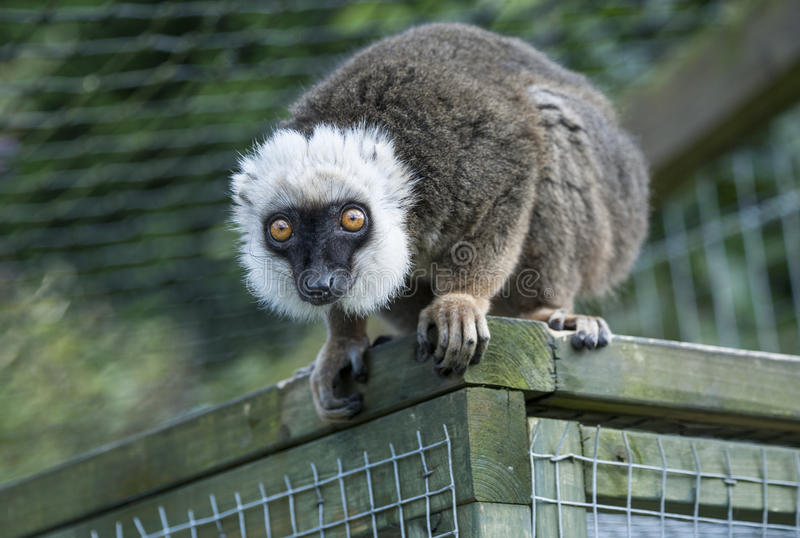 White Fronted Brown Lemur. Close up of a White Fronted Brown Lemur royalty free stock images