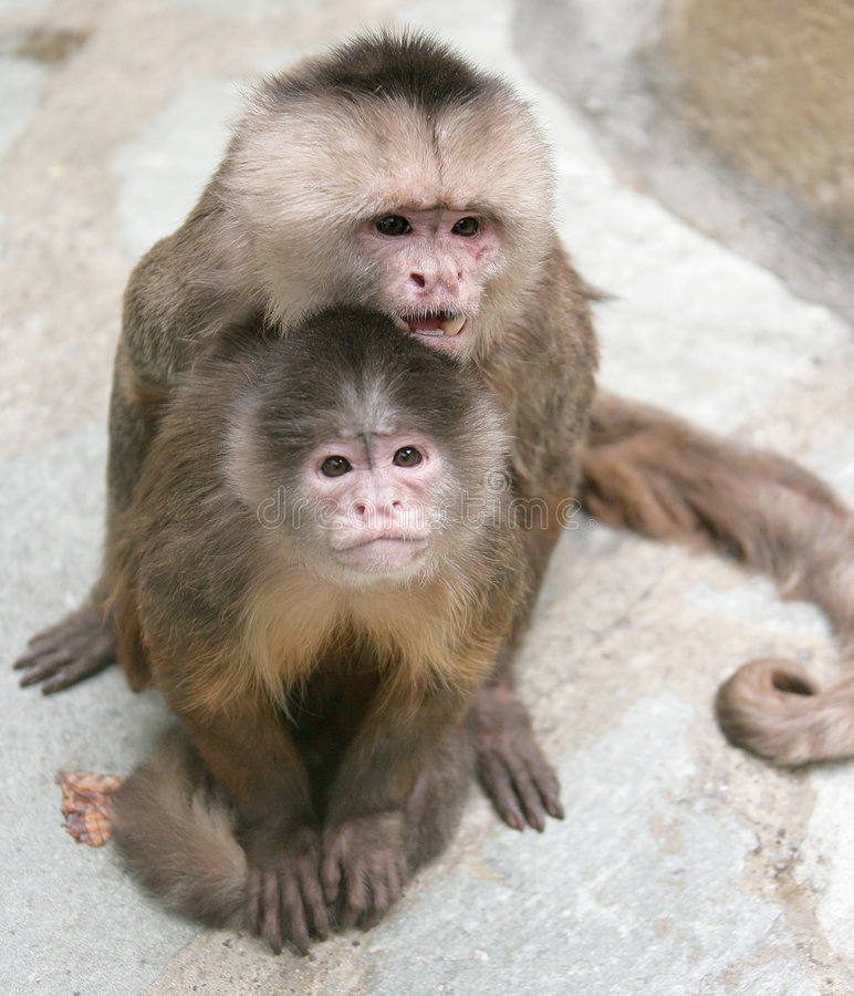 White-fronted Capuchin 2 stock foto