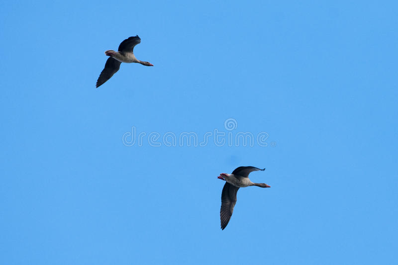 White Fronted Geese Pair in flight stock photos