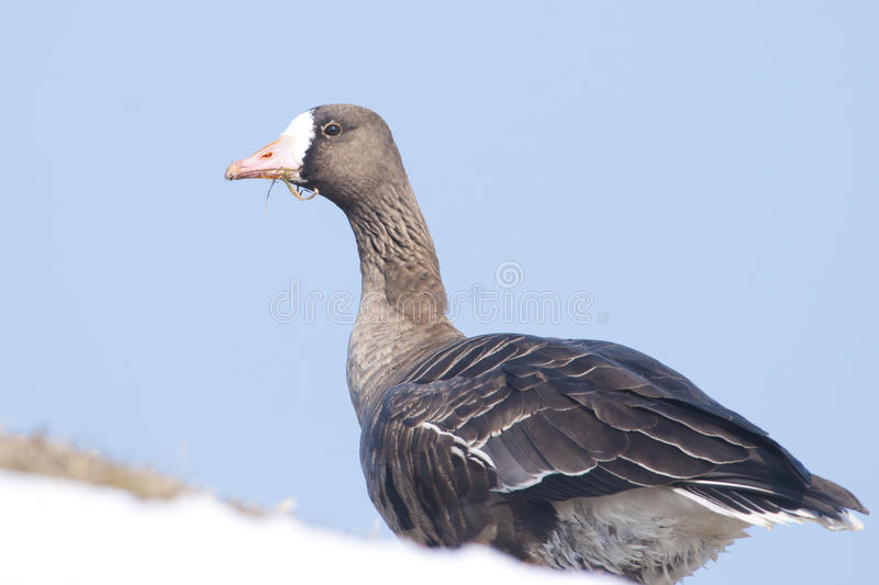 White Fronted Goose stock image