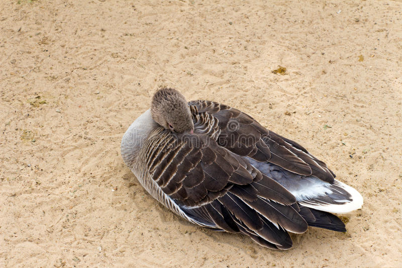 White-fronted goose (brown duck) relax and sleeping on the sand. (Latin: Anser albifrons; class birds; squad anseriformes; family duck royalty free stock image