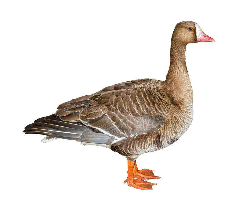 White-Fronted Goose Cutout. White-Fronted Goose isolated on white background with clipping path stock photography