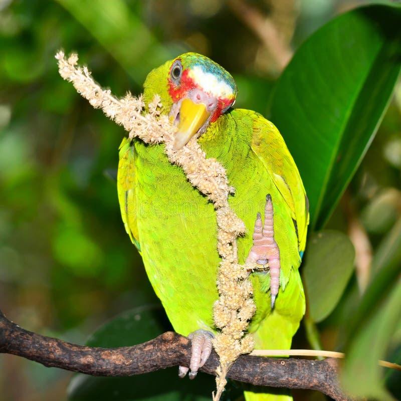 White-fronted papegaai van Amazonië stock fotografie