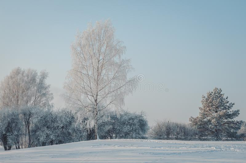 White from frost, high birch against the sky. stock image