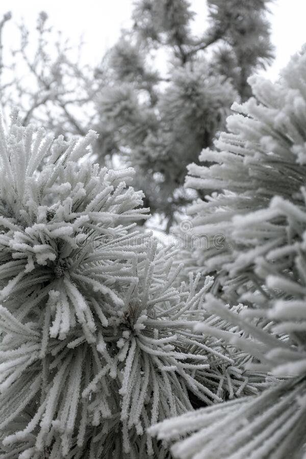 White frost on the needles of a pine tree stock image