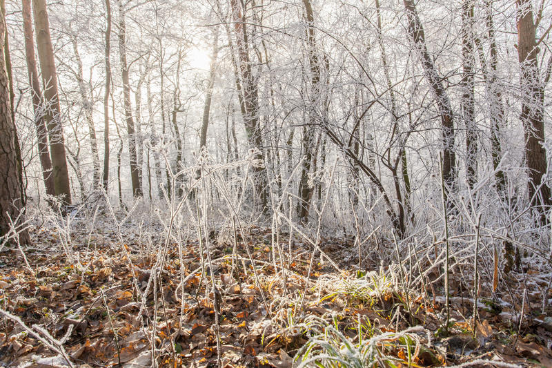 Download White Frozen Winter Magic Forest Landscape In The Morning Light Stock Photo - Image: 83706512