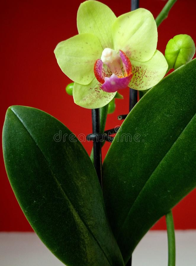 White and fuchsia orchid with a red background stock photo