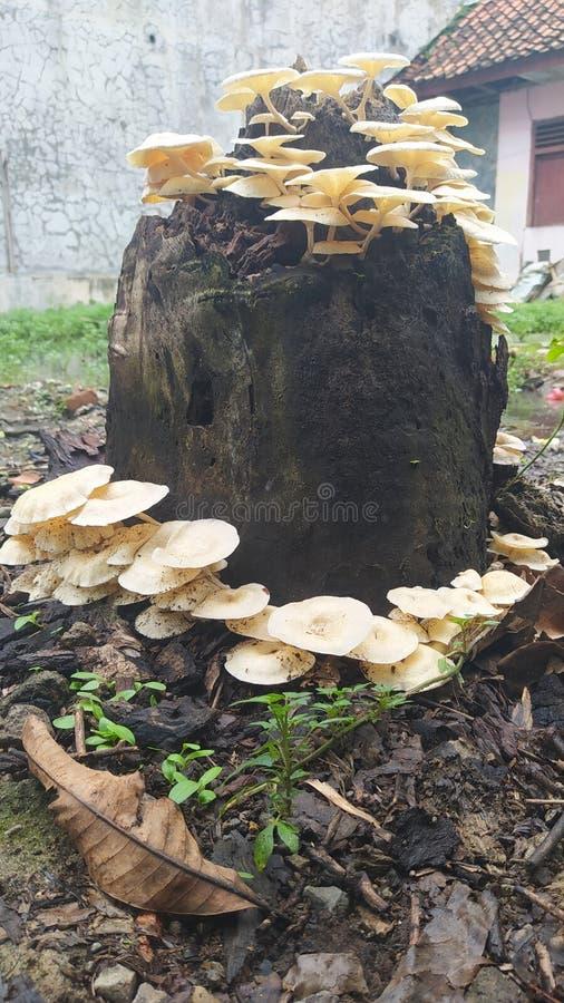 Free White Fungus Mushroom 9 Stock Image - 211001521