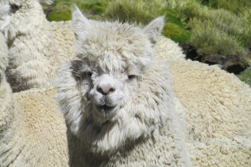 White furry lama portrait. Lama on a meadow in the mountains royalty free stock photos