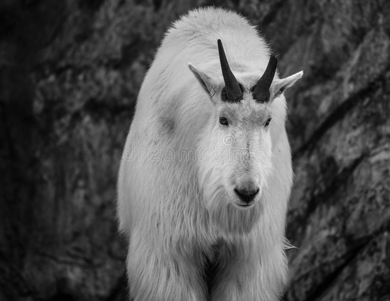 Mountain Goat Close up royalty free stock photos