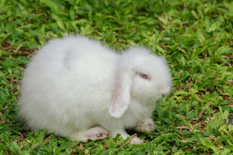 White furry skin rabbit on garden. Green, summer, grass, nature, field, young, background, cute, little, one, spring, outdoor, animal, meadow, farm, domestic royalty free stock photography