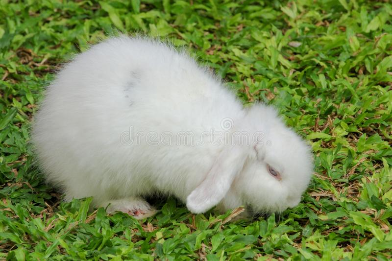 White furry skin rabbit on garden. Green, summer, grass, nature, field, young, background, cute, little, one, spring, outdoor, animal, meadow, farm, domestic royalty free stock photo