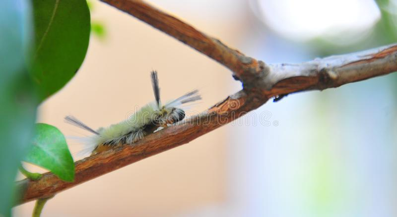 White Fuzzy Caterpillar with Black Tufts. On a branch, may be a tufted moth, found in the forest in Ellijay Georgia stock image
