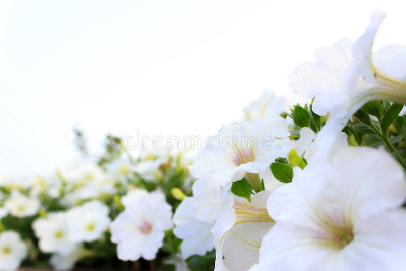 White Garden Flowers. Close up Bright white flowers in an ornamental garden, isolated on white background, select focus stock photos