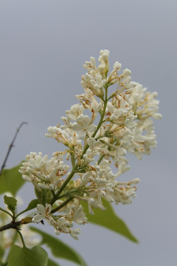 White garden lilac. On a gray background stock photo