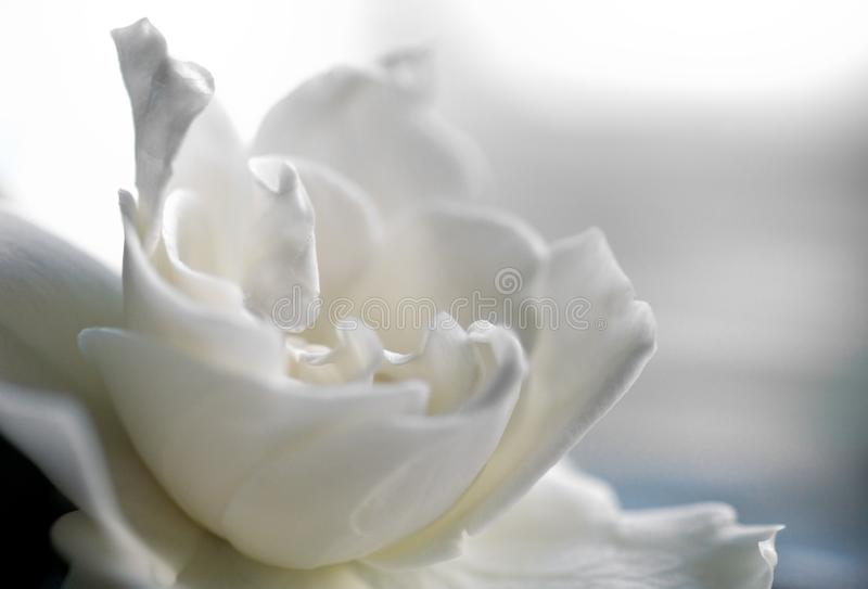White gardenia bloom in creamy soft focus with pastel colors. White gardenia bloom in creamy soft focus with pastel colors of blue, beige, yellow and white stock images