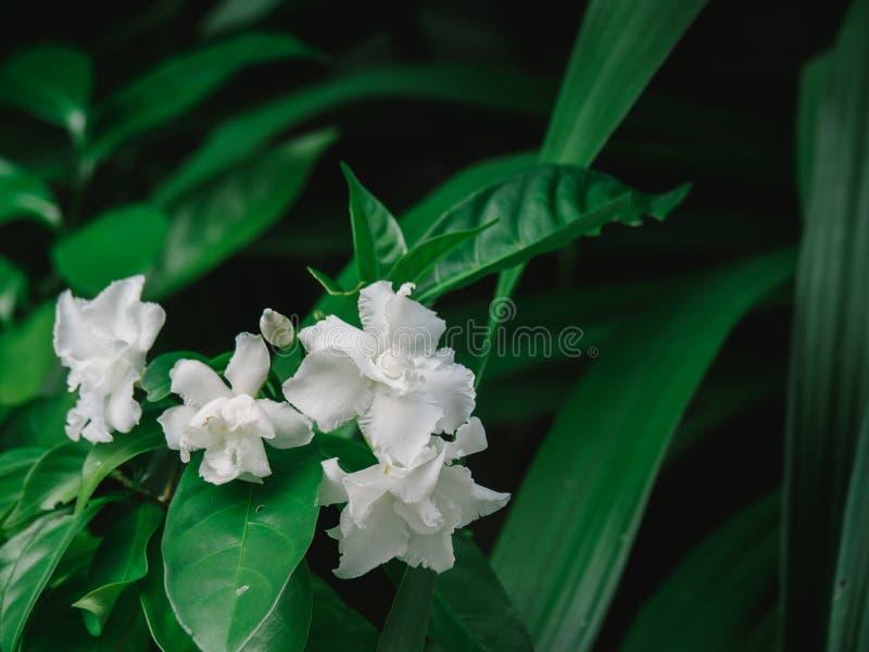 White Gardenia flower or Cape Jasmine Gardenia jasminoides foliage and flower. White Gardenia flower or Cape Jasmine Gardenia jasminoides foliage royalty free stock photo