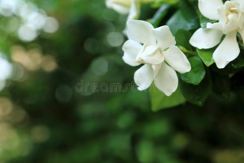 White Gardenia jasminoides flowers Cape jasmine with freshness water drop on petal. royalty free stock images