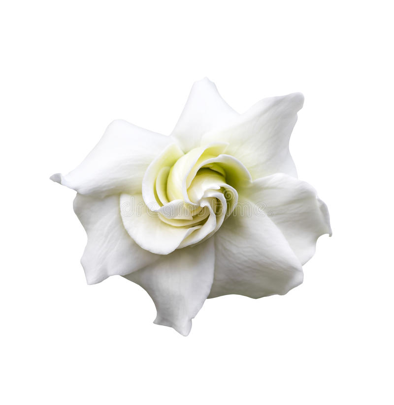White gardenia jasminoides stock photo