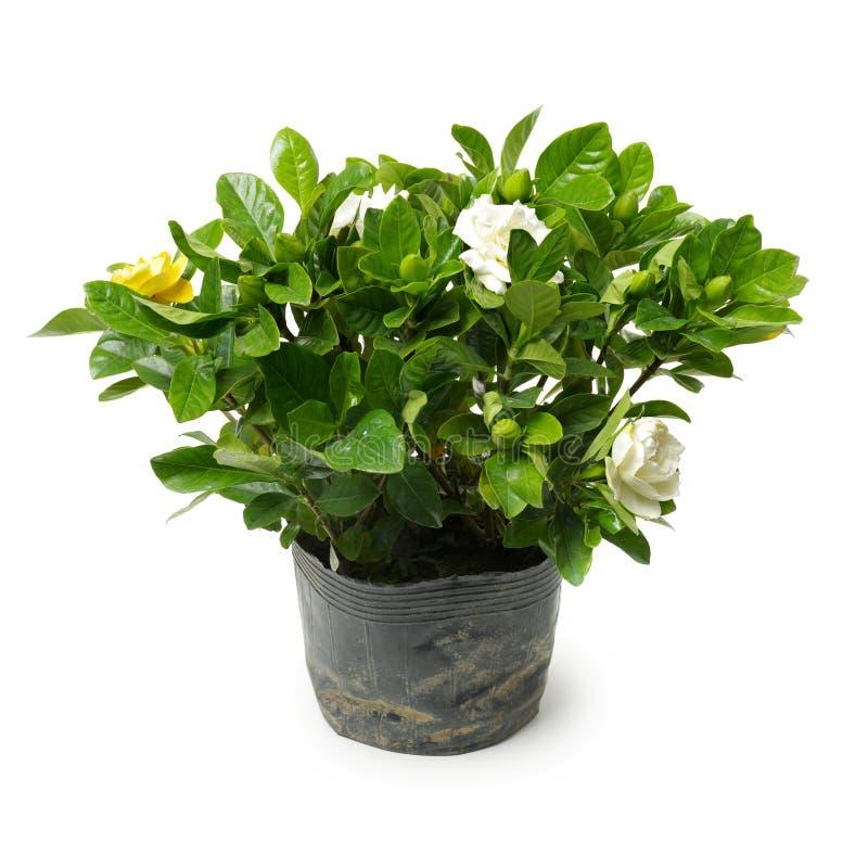 White gardenia plant. On white background royalty free stock image