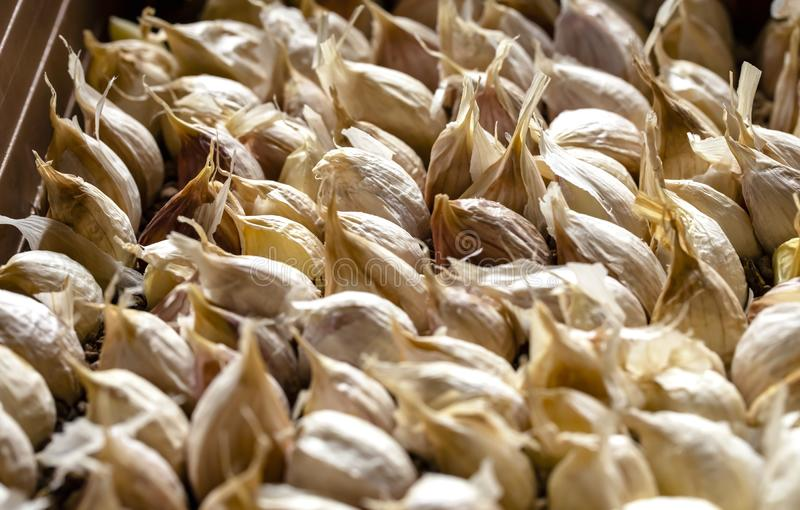 White garlic pile texture. Lots of common fresh garlic close up photo stock images