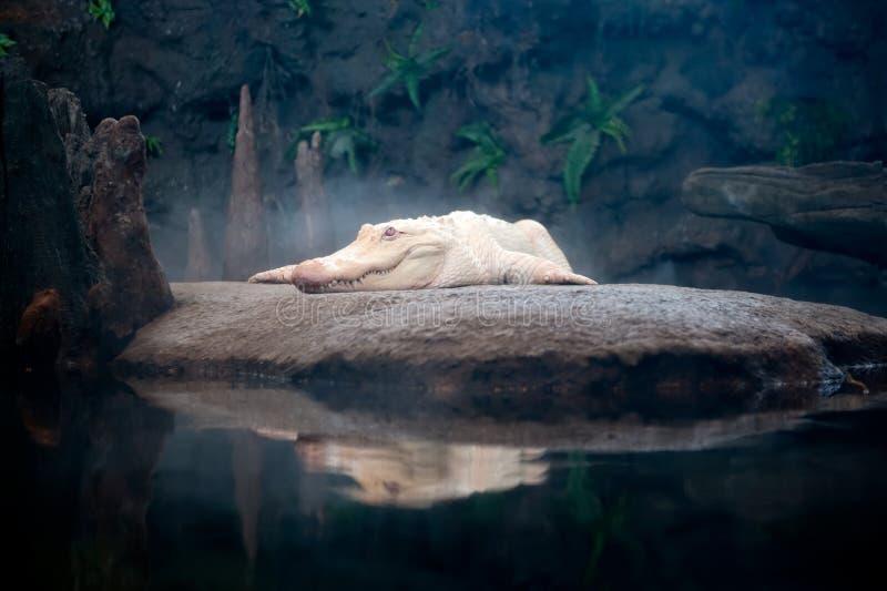 White Gator royalty free stock photography