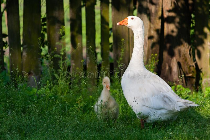 White geese and litle gesse on green grass near the fencef royalty free stock image