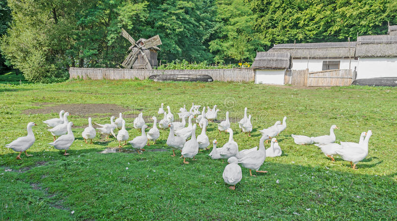 White geese with orange beak on green grass, close up. Outdoor countryside stock photography