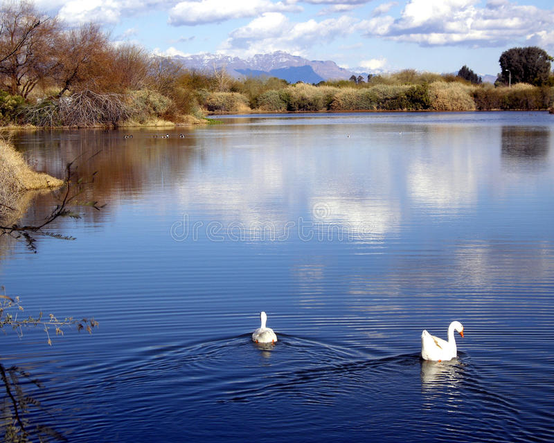 White Geese swim out onto a calm peaceful lake. Two white geese swim out onto a calm peaceful lake in Gilbert Arizona. The blue lake reflects the white clouds royalty free stock image