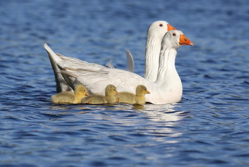 Geese Swimming With a Trio of baby Goslings. White Geese swimming on a blue lake with three yellow goslings stock photo