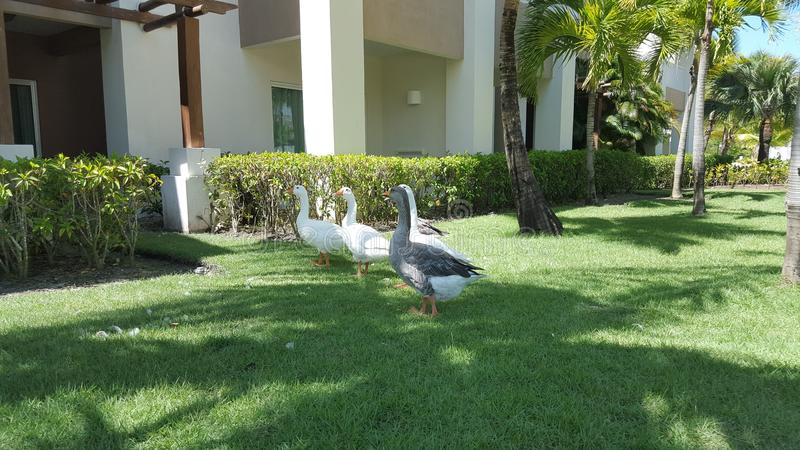 A line of white geese stock image