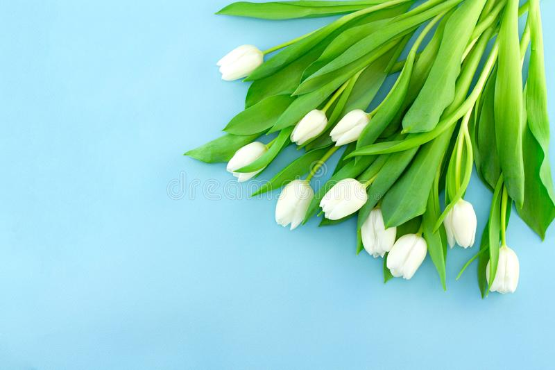 White gentle tulips on blue background. Holiday spring concept, International women day, Mother`s Day, top view stock images