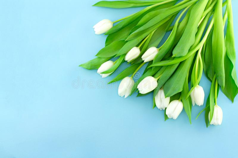 White gentle tulips on blue background. Holiday spring concept, International women day, Mother`s Day, top view royalty free stock images