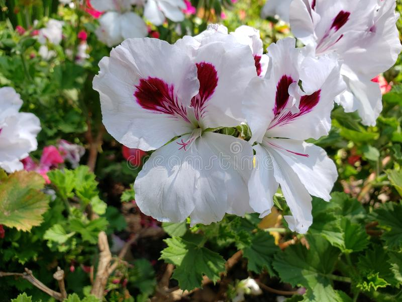 White geranium flower with purple in a garden. Nature and botany, flora and natural life, flower petals with intense colors for garden and park decoration stock photography