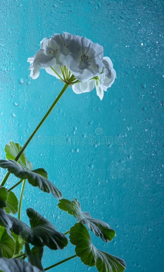 White geranium flower, on a turquoise glass background. With drops of dew. Close-up. White geranium flower, on a turquoise glass background. With drops of dew stock image
