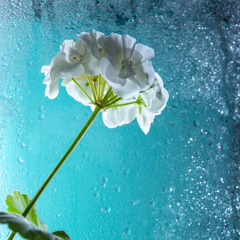 White geranium flower, on a turquoise glass background. With drops of dew. Close-up. White geranium flower, on a turquoise glass background. With drops of dew stock photo