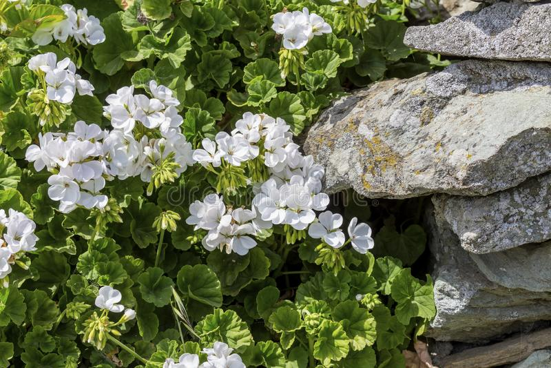 White geranium flowers grow in the garden close-up. Garden design. White, gentle geranium flowers grow near the stones in the garden close-up on a spring day royalty free stock photo