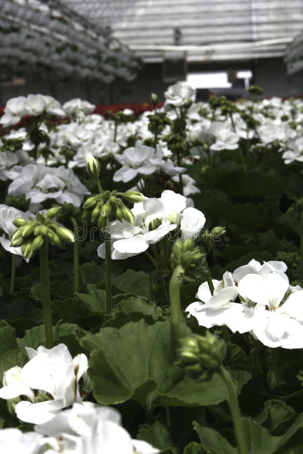 White Geraniums royalty free stock images