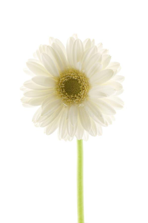White gerbera royalty free stock image