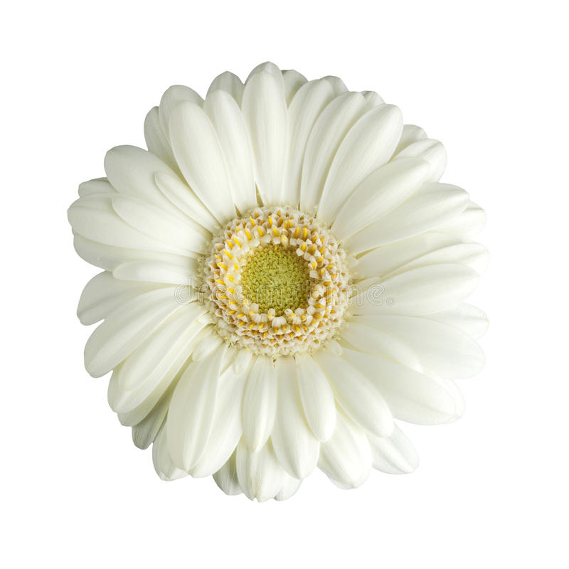 White Gerbera Daisy Isolated Stock Images