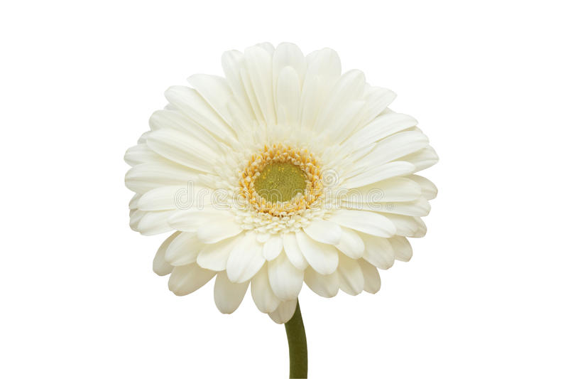 White gerbera flower stock image image of close flowers 35115321 download white gerbera flower stock image image of close flowers 35115321 mightylinksfo Choice Image