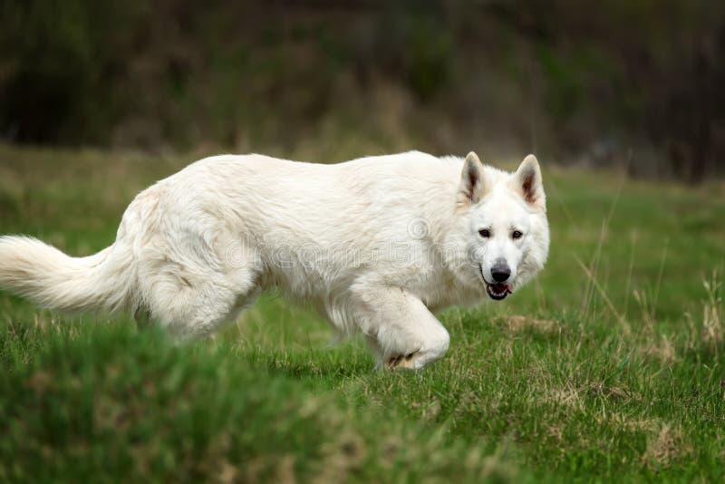 Berger Blanc Suisse White german shepherd. White german shepherd in the summer meadow. Berger Blanc Suisse stock image