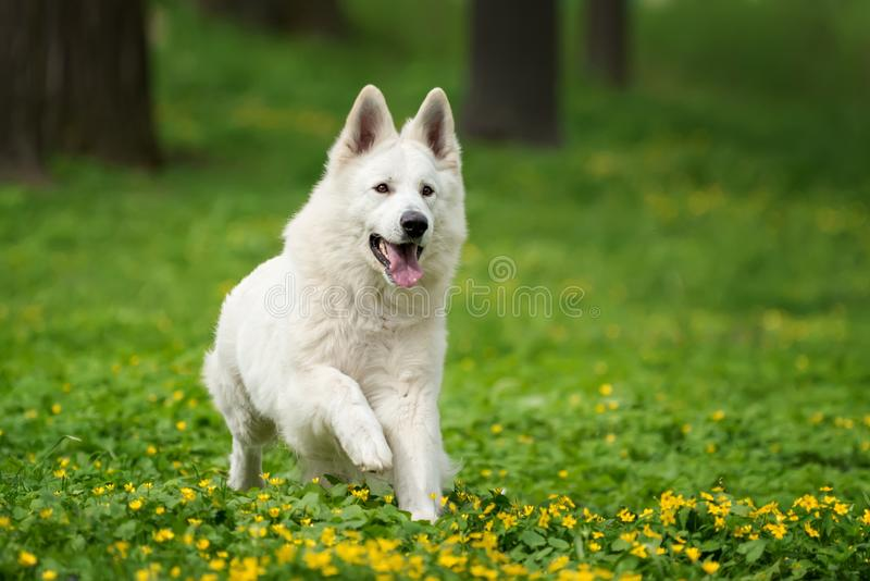Berger Blanc Suisse White german shepherd. White german shepherd in the summer meadow. Berger Blanc Suisse royalty free stock image