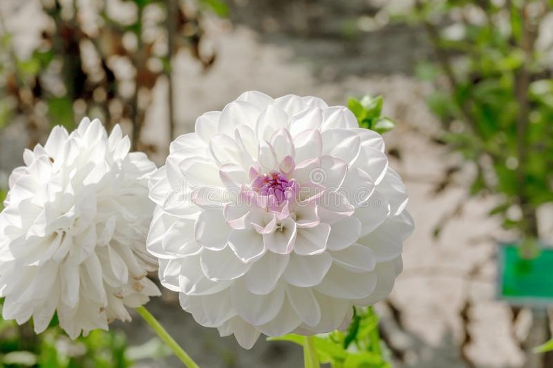 White Giant ball Dahlia Boom Boom flower in garden stock photos